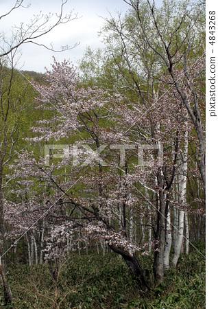 樱花 樱桃树 野樱桃树