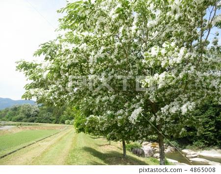 流苏树 开花 花