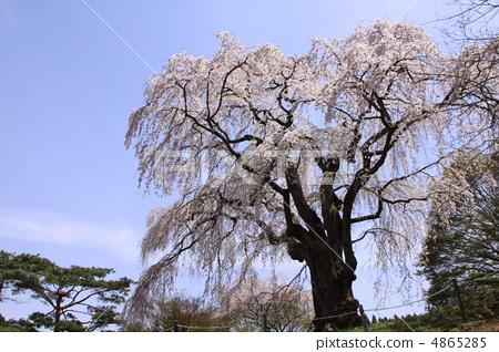 樱桃树 双垂枝樱 樱花