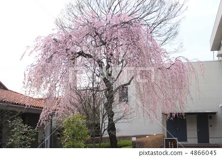 图库照片: 垂枝樱花 花朵 花卉