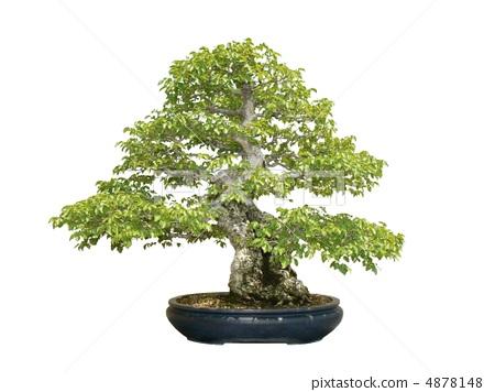 树 首页 照片 植物_花 树_树木 盆栽 盆栽 阔叶树 树  *pixta限定素材