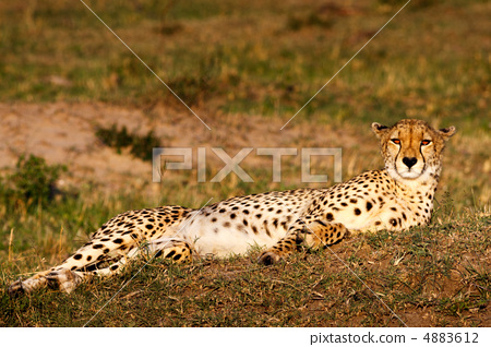 猎豹 野生动物 热带大草原