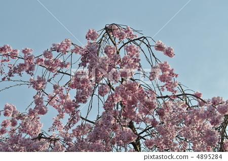 花朵 花 树枝低垂的樱花树
