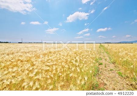 首页 照片 天空 蓝天 大麦 小麦 小麦地  pixta限定素材      大麦