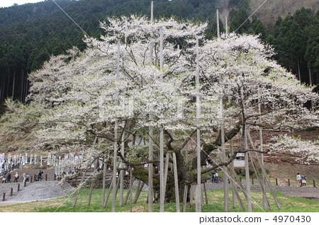 樱桃树 江户彼岸樱树 樱花