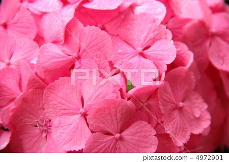 绣球花 粉色 下雨