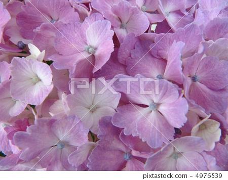 图库照片: 粉色鲜花 绣球花 花朵