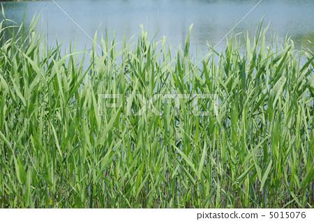 首页 照片 风景_自然 河_池塘 池塘 芦苇 根茎 沼泽  *pixta限定素材