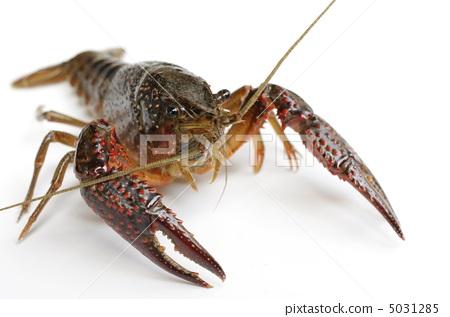 图库照片: 红沼泽螯虾 甲壳动物 小龙虾