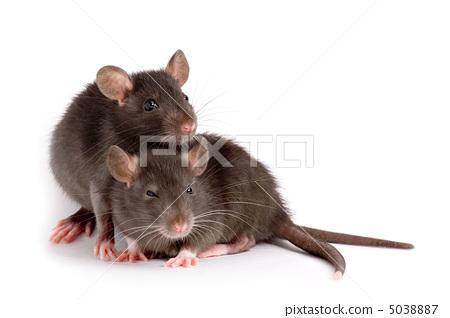 会吃老鼠的动物图片