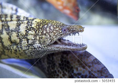 海鳝 鱼 咸水鱼
