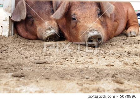 猪 棕色 两只(动物)