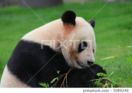 图库照片: 大熊猫 动物 陆生动物