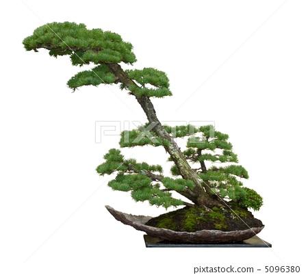 松树 日本五针松 盆栽
