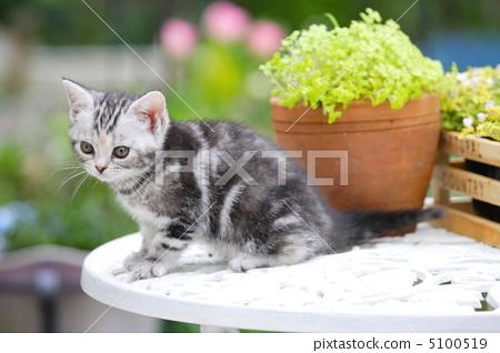 照片: 动物 动物群 美国短毛猫
