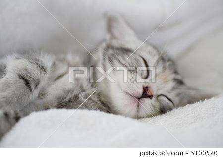 图库照片: 美国短毛猫 小猫 睡着
