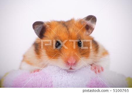 图库照片: 金仓鼠 仓鼠 小动物