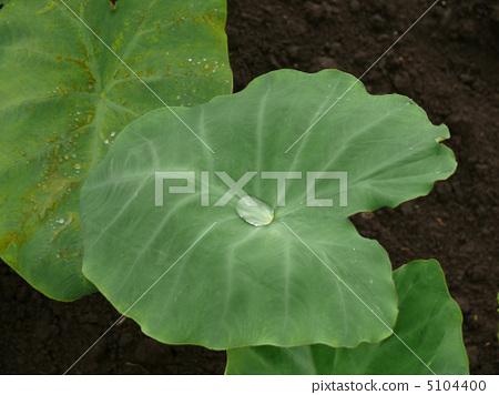 芋头 芋头 树叶 叶子  pixta限定素材      芋头 树叶 叶子[5104400]