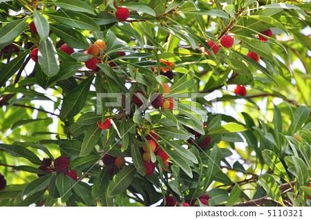 日本月桂树的果实 亚洲香(杨)梅 杨梅
