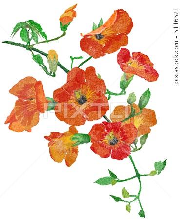 插图素材: 凌霄花 植物 植物学