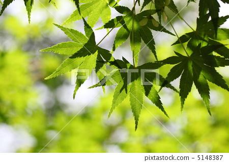 树叶 秋叶 银杏叶