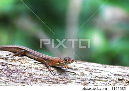 爬行动物 蜥蜴 爬虫类的