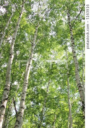 银桦树 日本白桦森林 日本白桦