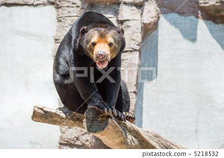 动物 马来人太阳熊 动物宝宝-图库照片