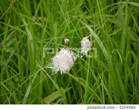图库照片: 白毛羊胡子草