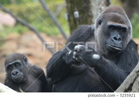 大猩猩 上野动物园 东京闹市区