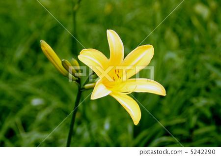 花朵 大苞萱草 金针花