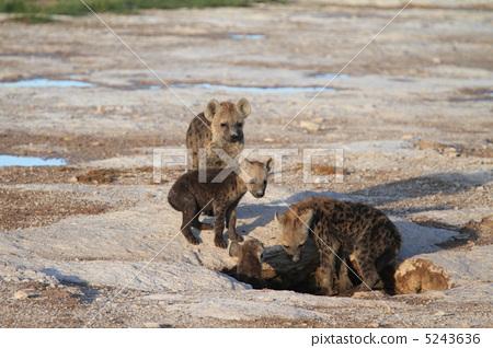 野生动物 野生生物 斑鬣狗