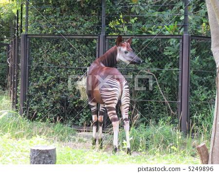图库照片: 霍加 稀有动物 奇怪动物