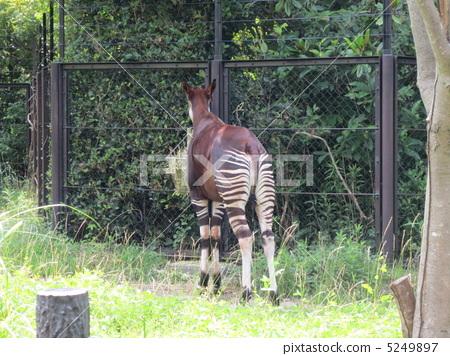 图库照片: 稀有动物 奇怪动物 霍加