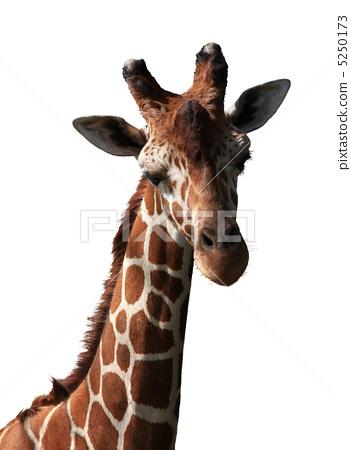 长长的脖子 网纹长颈鹿