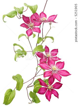 照片素材(图片): 铁线莲 攀援植物 牛角花