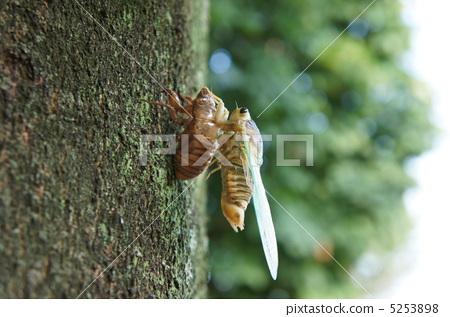 照片素材(图片): 昆虫出现 蝉出现 蝉