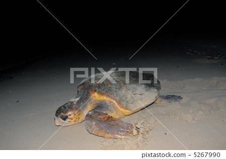 图库照片: 红海龟 绿海龟 海龟