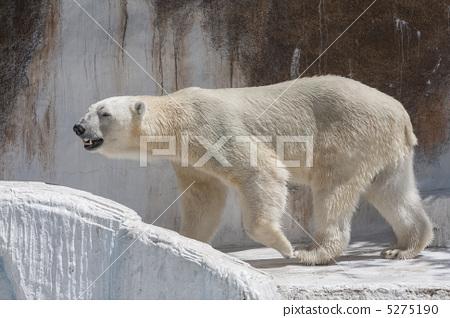 北极熊 动物宝宝 哺乳动物