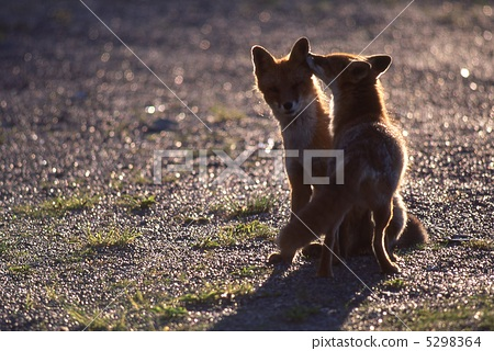 虾夷红狐狸 父母和小孩 两只动物
