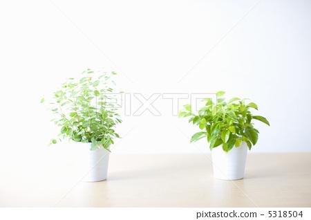 观叶植物 盆栽 室内盆栽