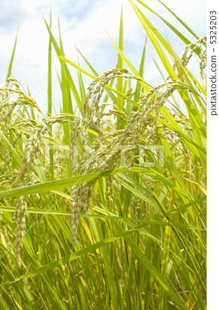 照片素材(图片): 水稻 稻穗 水稻作物