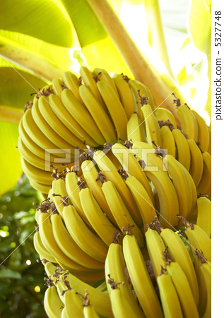 图库照片: 香蕉 香蕉树 水果