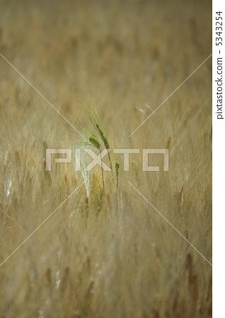 小麦啤酒 绿色小麦 绿色大麦
