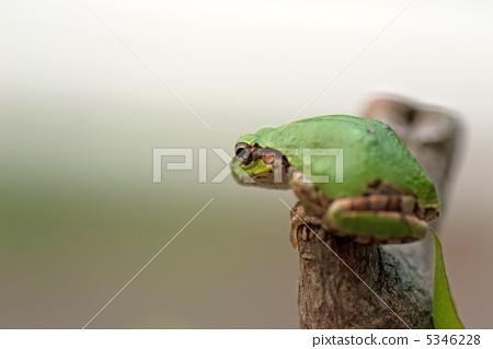 爬行动物_昆虫_恐龙 青蛙 照片 树蛙 青蛙 两栖的 首页 照片 爬行动物