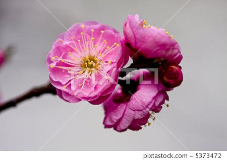 首页 照片 植物_花 梅花 梅花 日本梅子 梅 冬花  *pixta限定素材仅在