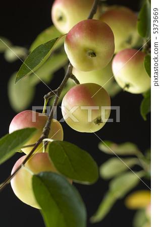 水果 苹果 苹果树上