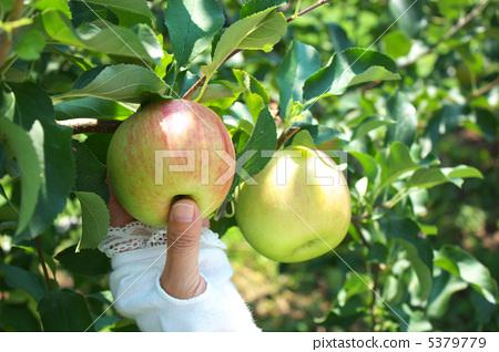 首页 照片 蔬菜_食品 水果 苹果 水果 苹果 摘苹果  *pixta限定素材仅