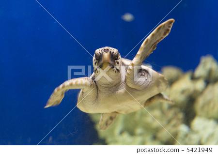 照片 海龟 红海龟 乌龟 首页 照片 动物_鸟儿 海洋动物 海龟 海龟 红