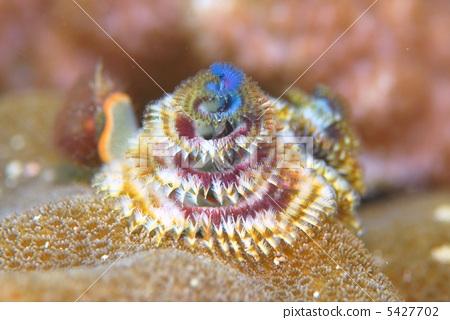 圣诞树蠕虫 在海洋里 海底的